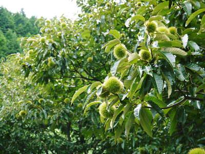 利平栗 栗の王様「利平栗」 完全無農薬・完全無化学肥料で虫食いの葉っぱで順調に育ってますよ!_a0254656_16571573.jpg