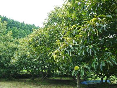 利平栗 栗の王様「利平栗」 完全無農薬・完全無化学肥料で虫食いの葉っぱで順調に育ってますよ!_a0254656_17521947.jpg
