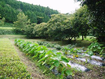 利平栗 栗の王様「利平栗」 完全無農薬・完全無化学肥料で虫食いの葉っぱで順調に育ってますよ!_a0254656_1753491.jpg