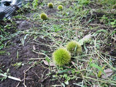 利平栗 栗の王様「利平栗」 完全無農薬・完全無化学肥料で虫食いの葉っぱで順調に育ってますよ!_a0254656_17544742.jpg