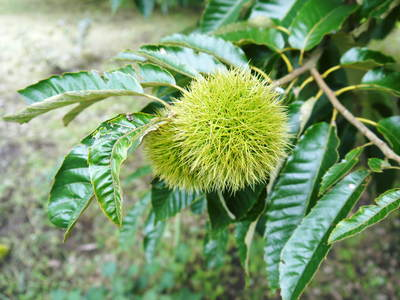 利平栗 栗の王様「利平栗」 完全無農薬・完全無化学肥料で虫食いの葉っぱで順調に育ってますよ!_a0254656_1757981.jpg