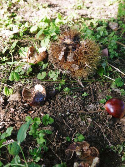 利平栗 栗の王様「利平栗」 完全無農薬・完全無化学肥料で虫食いの葉っぱで順調に育ってますよ!_a0254656_1816961.jpg