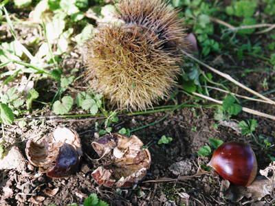 利平栗 栗の王様「利平栗」 完全無農薬・完全無化学肥料で虫食いの葉っぱで順調に育ってますよ!_a0254656_18191772.jpg