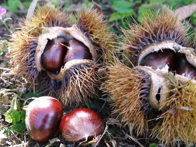 利平栗 栗の王様「利平栗」 完全無農薬・完全無化学肥料で虫食いの葉っぱで順調に育ってますよ!_a0254656_18234796.jpg