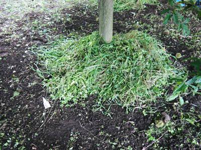 利平栗 栗の王様「利平栗」 完全無農薬・完全無化学肥料で虫食いの葉っぱで順調に育ってますよ!_a0254656_1852157.jpg