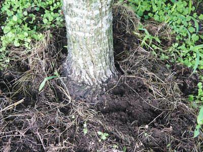 利平栗 栗の王様「利平栗」 完全無農薬・完全無化学肥料で虫食いの葉っぱで順調に育ってますよ!_a0254656_18713100.jpg