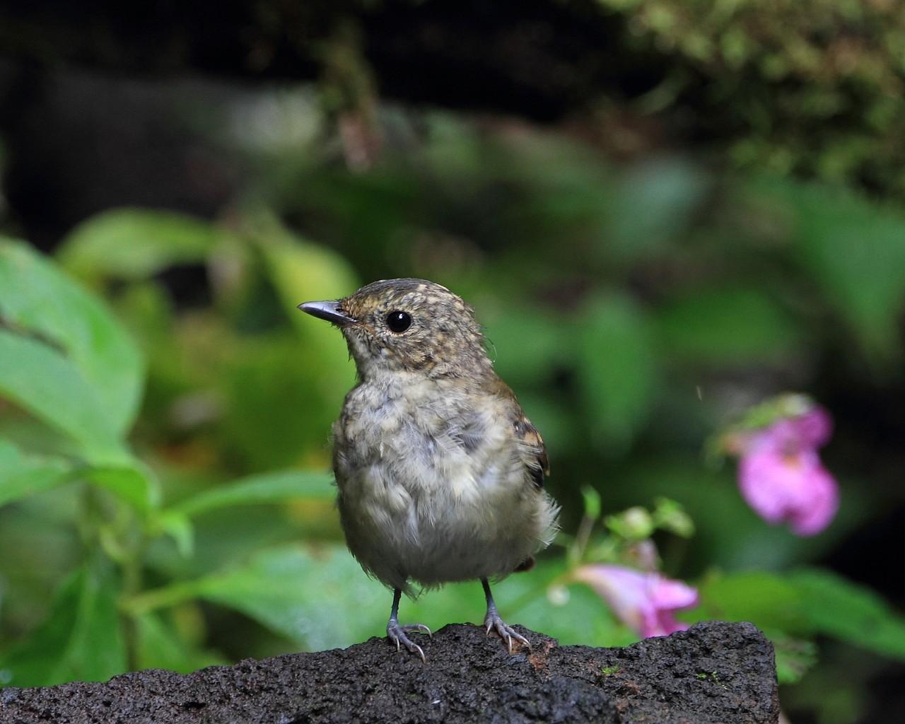 4年前のキビタキ幼鳥とツリフネソウ_f0105570_2225813.jpg