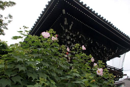 芙蓉の寺 妙蓮寺_e0048413_20454554.jpg