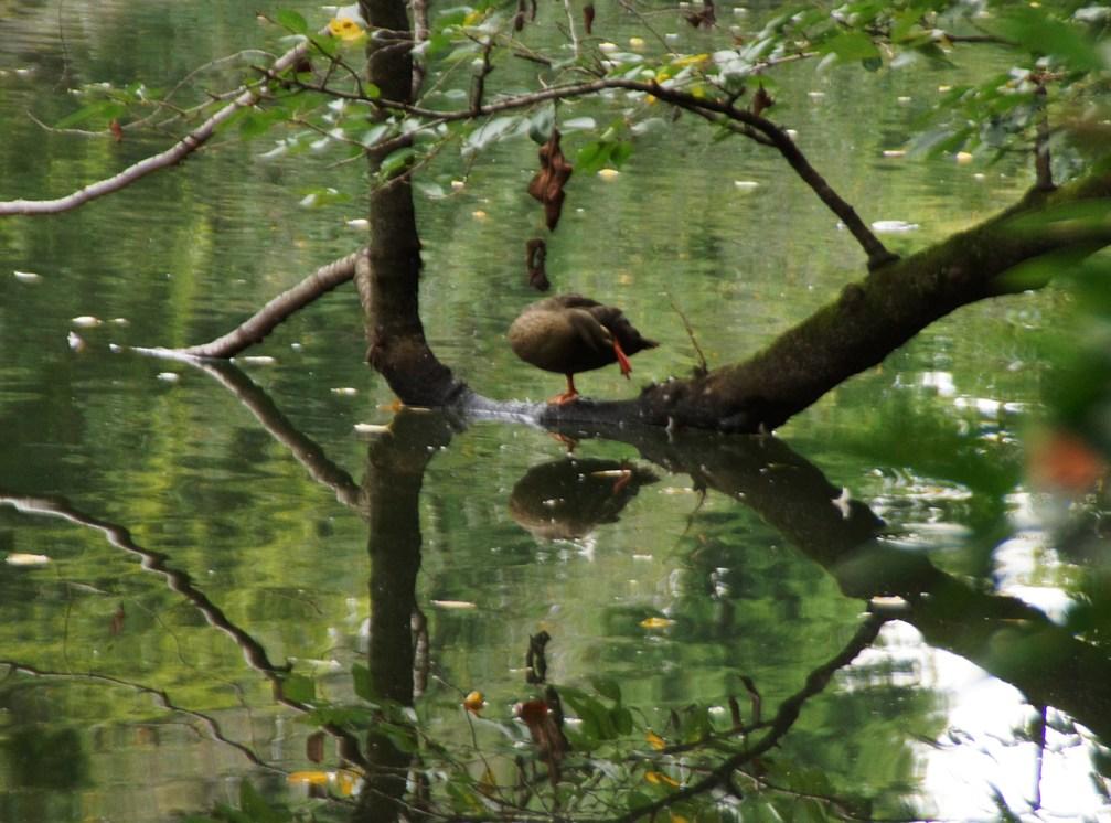 片足上げて首を後ろへ下ろして鴨の羽繕い@井の頭池_f0006713_22340734.jpg
