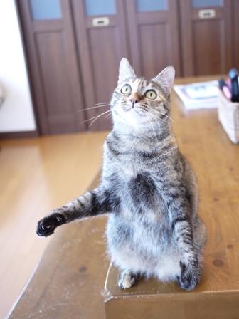猫のお友だち ワサビちゃん天ちゃんう京くん編。_a0143140_19312137.jpg