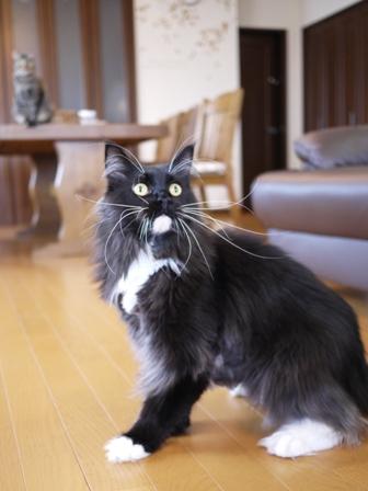 猫のお友だち ワサビちゃん天ちゃんう京くん編。_a0143140_1932530.jpg