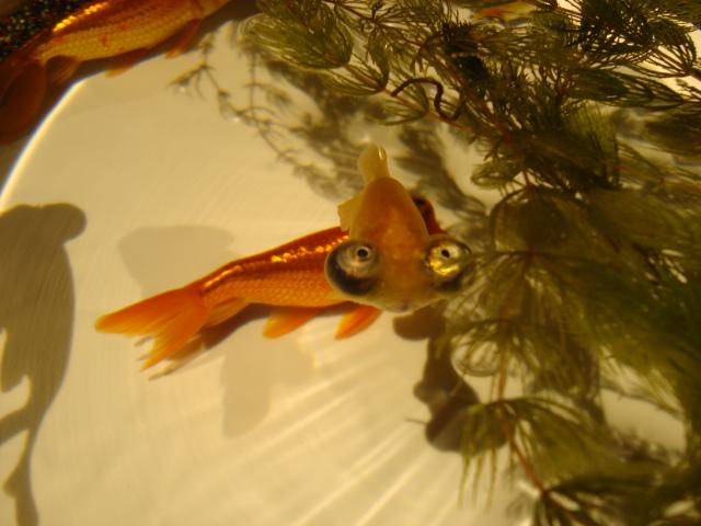「アートアクアリウム 2014 江戸金魚の涼」へ行く。_f0232060_16161546.jpg
