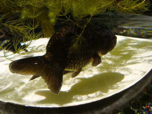 「アートアクアリウム 2014 江戸金魚の涼」へ行く。_f0232060_16231747.jpg