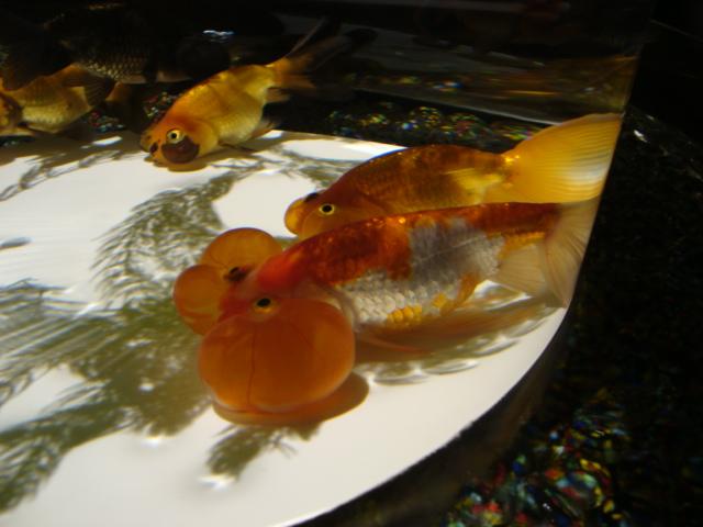 「アートアクアリウム 2014 江戸金魚の涼」へ行く。_f0232060_16262971.jpg