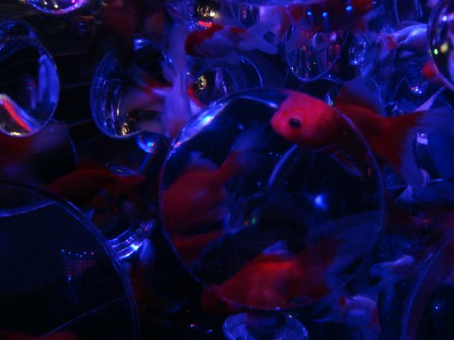 「アートアクアリウム 2014 江戸金魚の涼」へ行く。_f0232060_1639546.jpg