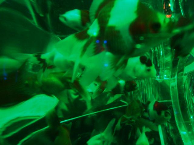 「アートアクアリウム 2014 江戸金魚の涼」へ行く。_f0232060_1641225.jpg