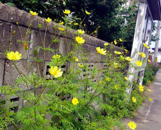 斑入り露草の美人さん。秋の花粉症など~^^_a0136293_16471522.jpg
