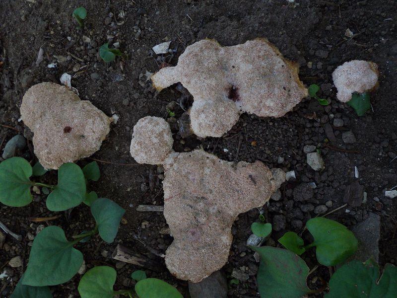 偶然か大発見か: 十五夜イブの粘菌出現_c0025115_21114314.jpg