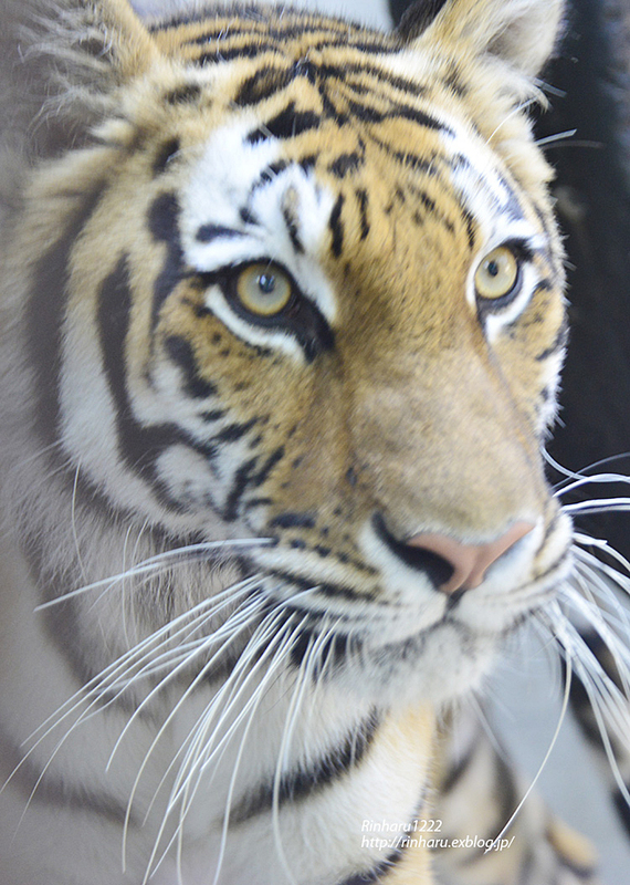 2014.6.15 宇都宮動物園☆アムールトラのチグ【Tiger】_f0250322_20383775.jpg
