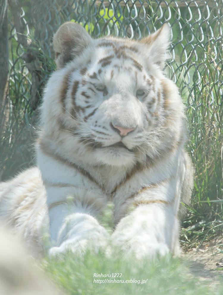 2014.5.10 群馬サファリ☆ホワイトタイガーのヴィエリとバッジョ【White tiger】_f0250322_21345644.jpg