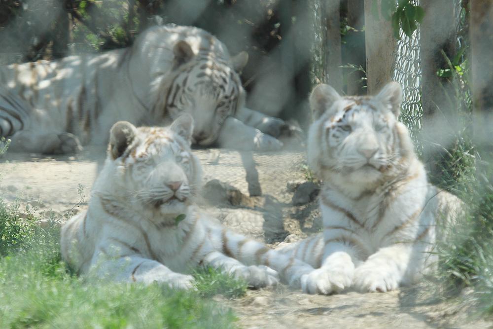 2014.5.10 群馬サファリ☆ホワイトタイガーのヴィエリとバッジョ【White tiger】_f0250322_2135795.jpg