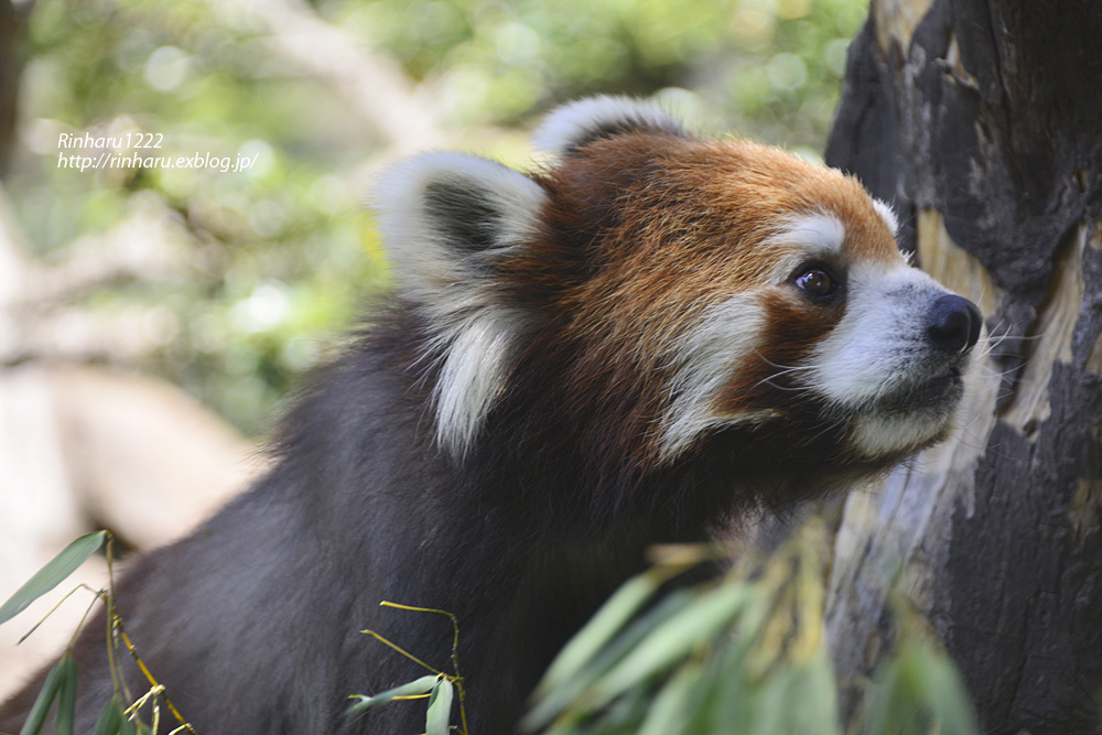 2014.5.10 群馬サファリ☆レッサーパンダのタイヨウとアヤ【Lesser panda】_f0250322_21421031.jpg