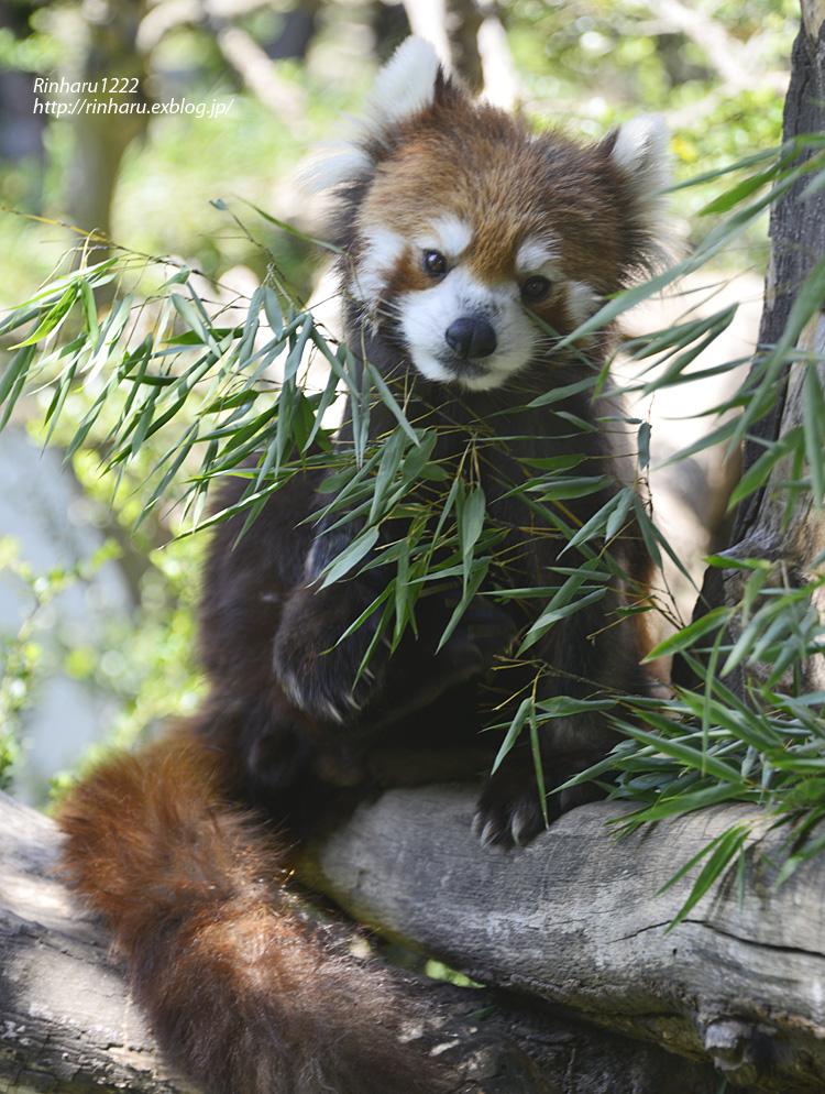 2014.5.10 群馬サファリ☆レッサーパンダのタイヨウとアヤ【Lesser panda】_f0250322_2142262.jpg