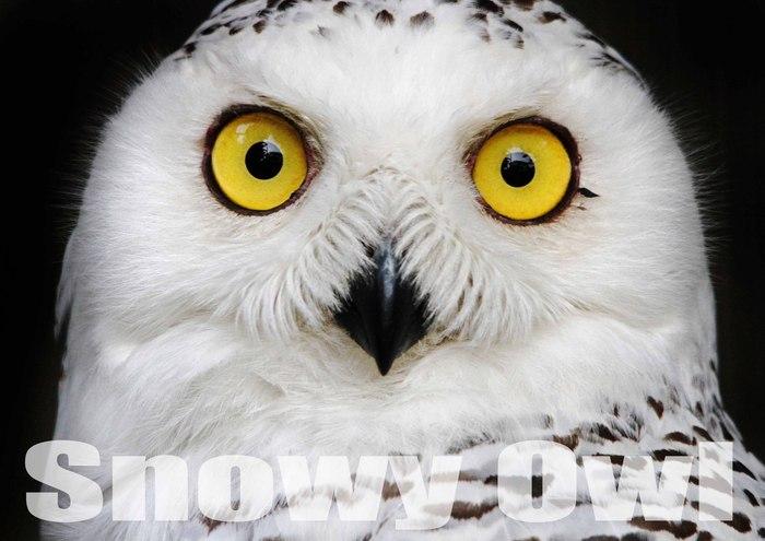 シロフクロウ:Snowy Owl_b0249597_548236.jpg