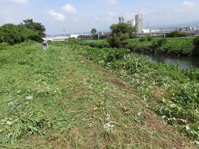 彼岸花が顔を出し始めています 酷暑の中の「滝川の土手普請」_f0141310_655923.jpg