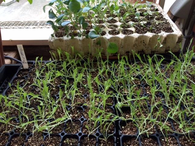 今朝から ブロッコリーの苗の定植 お店前&畑の苗床 一緒に 合わせて70株程・・_c0222448_14564630.jpg