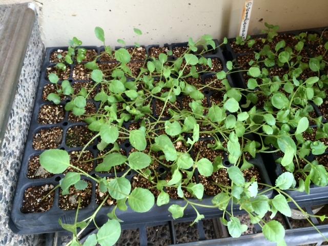 今朝から ブロッコリーの苗の定植 お店前&畑の苗床 一緒に 合わせて70株程・・_c0222448_14565835.jpg
