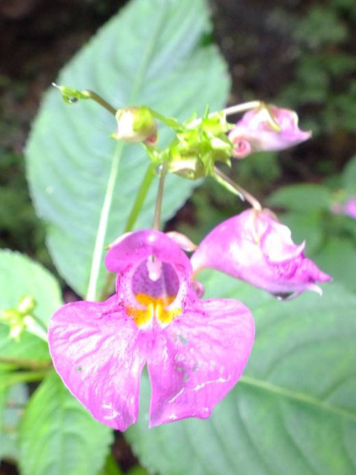 9月5日 吹割の滝付近の植物観察_e0145782_12101251.jpg