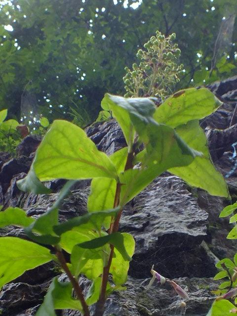 9月5日 吹割の滝付近の植物観察_e0145782_12112195.jpg