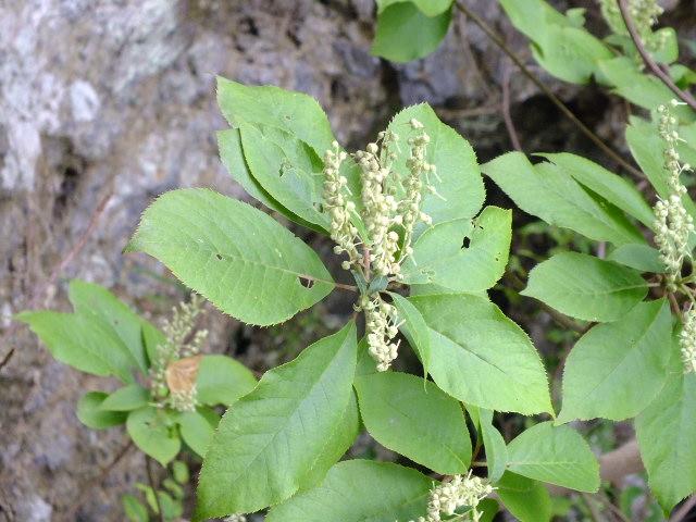 9月5日 吹割の滝付近の植物観察_e0145782_12122770.jpg