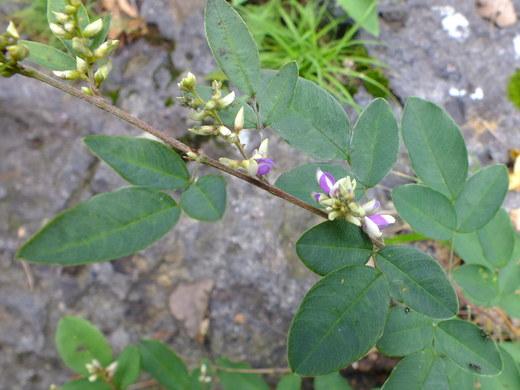 9月5日 吹割の滝付近の植物観察_e0145782_12165791.jpg