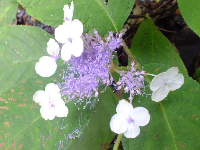 9月5日 吹割の滝付近の植物観察_e0145782_12184546.jpg