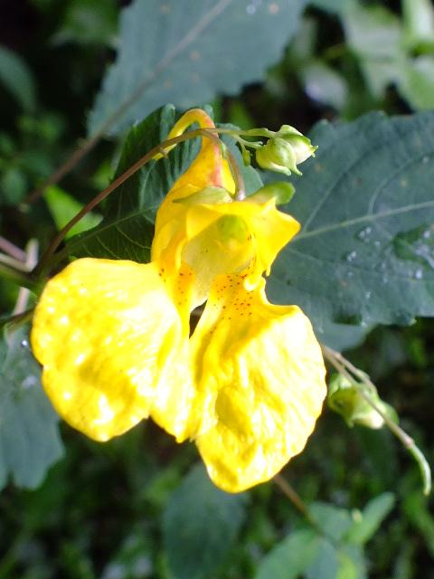 9月5日 吹割の滝付近の植物観察_e0145782_1285864.jpg