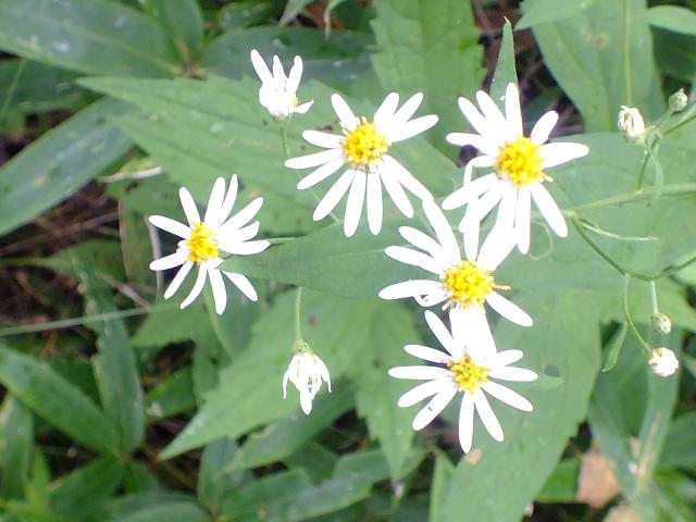 9月5日 戦場ケ原の植物観察_e0145782_14545365.jpg