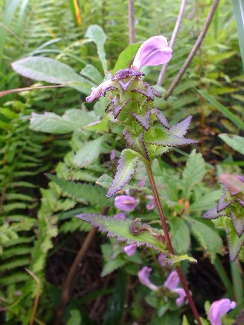 9月5日 戦場ケ原の植物観察_e0145782_14581230.jpg