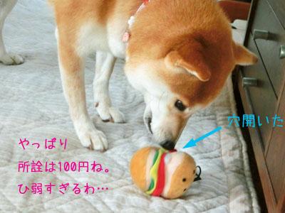 【柴犬ゆめちゃん】食欲の秋?_f0062790_16023067.jpg