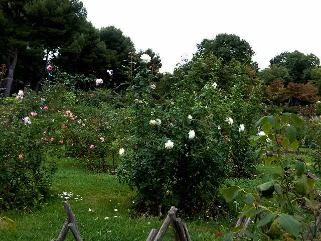 秋のバラ公園_b0064411_05150670.jpg