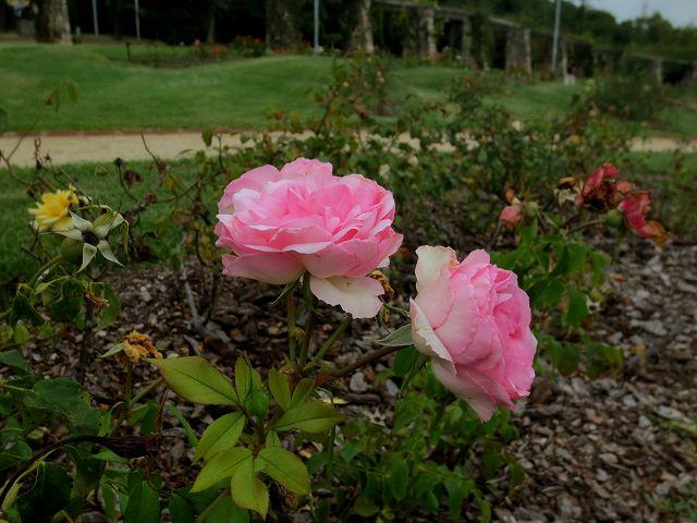 秋のバラ公園_b0064411_05245104.jpg