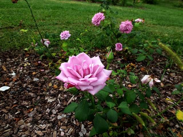 秋のバラ公園_b0064411_05245105.jpg