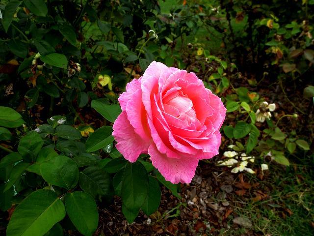 秋のバラ公園_b0064411_05245109.jpg