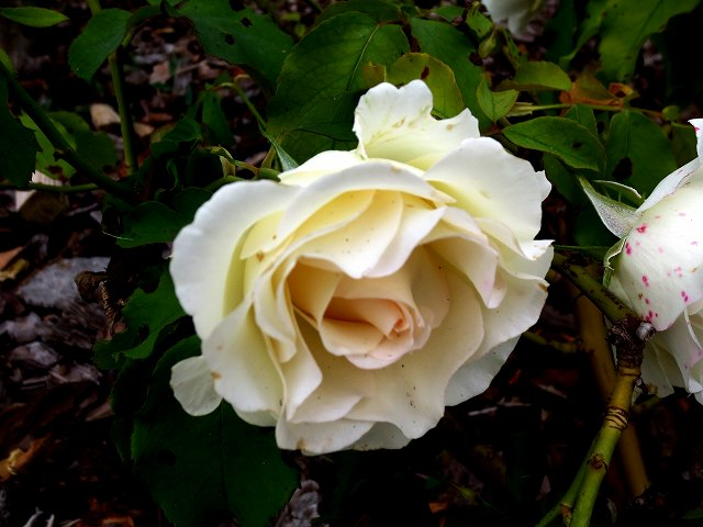 秋のバラ公園_b0064411_05245119.jpg