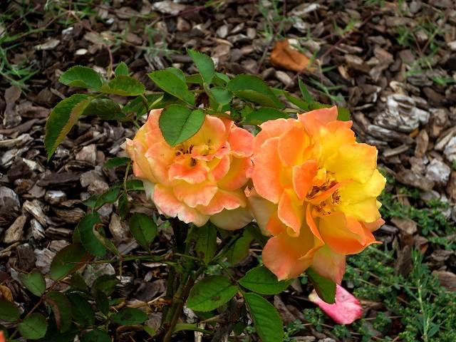 秋のバラ公園_b0064411_05245155.jpg