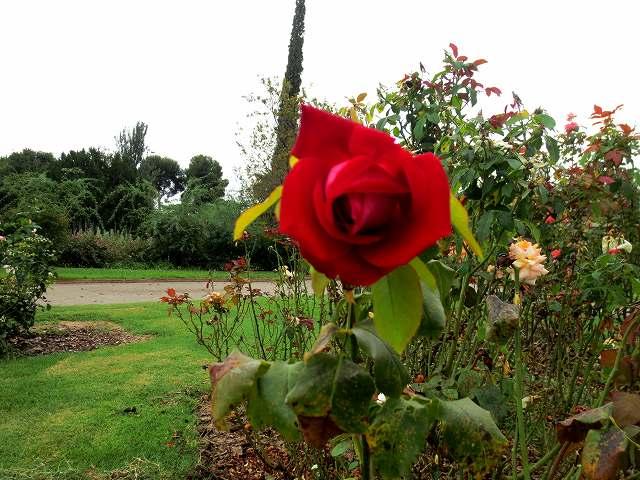 秋のバラ公園_b0064411_05245160.jpg
