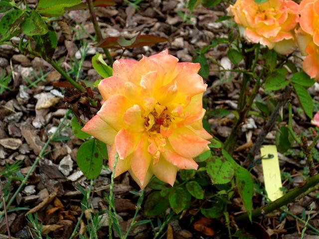 秋のバラ公園_b0064411_05245161.jpg