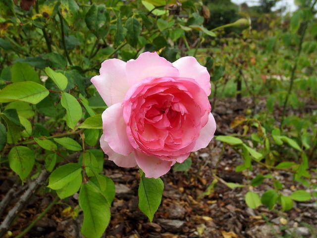 秋のバラ公園_b0064411_05245175.jpg