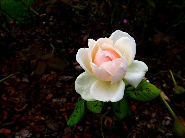 秋のバラ公園_b0064411_05245177.jpg